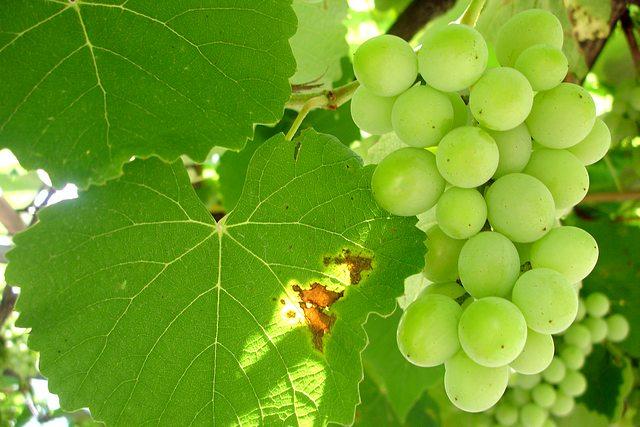 Vinné hrozny (6)